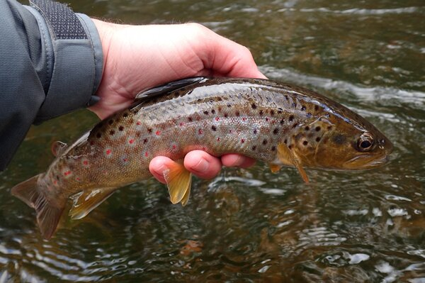 delaware river brown trout on a guided fly fishing trip (298)