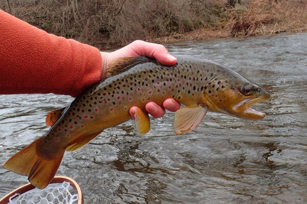 catching wild brown trout on guided fly fishing tours in the pocono mountains with jesse filingo of filingo fly fishing (467)