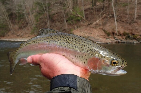 guided fly fishing jesse filingo pennsylvania and new yorks delaware river (1041)