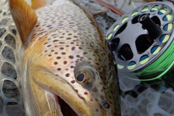 big delaware river brown trout on a guided fly fishing trip (305)