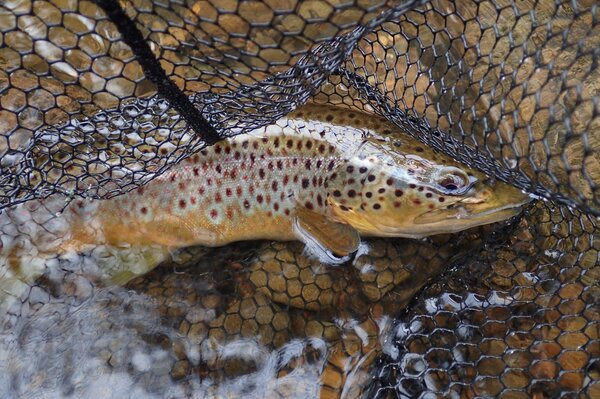pennsylvania pocono mountains guided fly fishing wild brown trout filingo fly fishing (1052)