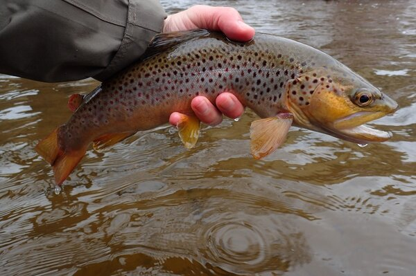 guided fly fishing trips for brown trout in the pocono mountains (306)