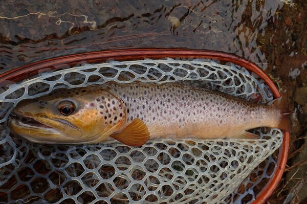 delaware river brown trout on a guided fly fishing trip with jesse filingo (309)