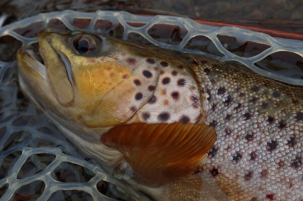 delaware river brown trout with jesse filingo on a guided fly fishing trip (310)