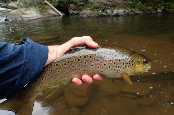 guided fly fishing pocono mountains brown trout (167)