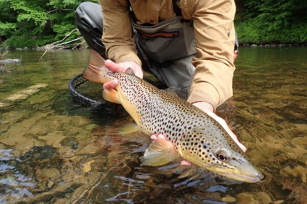 pocono moutains guided fly fishing for big brown trout with filingo fly fishing (818)