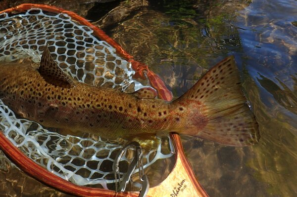 delaware river brown trout caught on a guided float trip down the west branch of the delaware river with jesse filingo of filingo fly fishing (387)