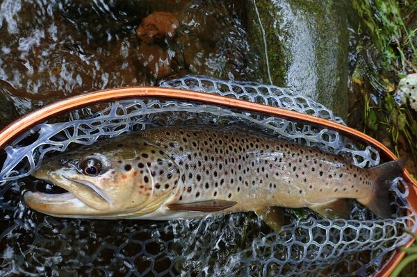 pocono mountains fly fishing with jesse filingo of filingo fly fishing for wild brown trout and wild trout (607)