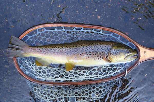 wild brown trout caught on a guided fly fishing trip with jesse filingo of filingo fly fishing in the delaware river (413)