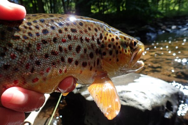 guided fly fishing trips in the pocono mountains for big brown trout with filingo fly fishing (915)