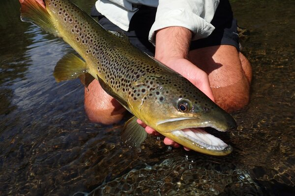 fly fishing for wild trout on the delaware river on a guided fly fishing tour with jesse filingo of filingo fly fishing (420)