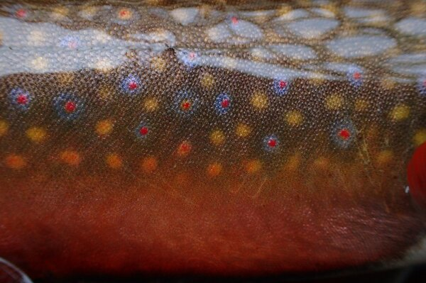 guided fly fishing for brook trout (231)