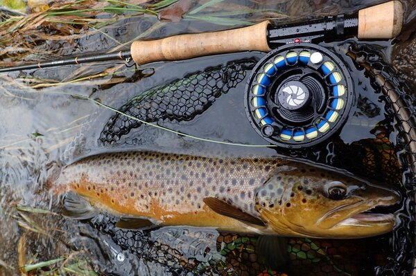 big brown trout in the pocono mountains guided fly fishing trips with filingo fly fishing (1002)