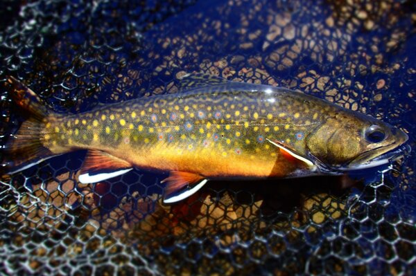 guided fly fishing tours in the pocono mountains with jesse filingo for wild trout (1006)