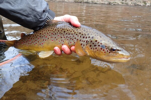 guided fly fishing in the pocono mountains for wild brown trout with filingo fly fishing (678)