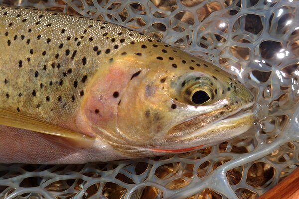 fly fishing in montana with jesse filingo of filingo fly fishing (402)